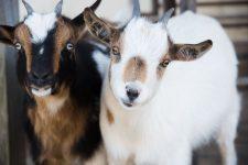 Foire aux chèvres de Céré la Ronde